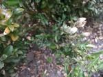 Vertrocknete Blätter?